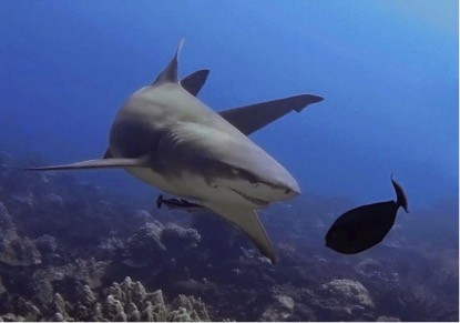 http://www.criobe.pf/wp-content/uploads/2015/10/Requins-415x291.jpg